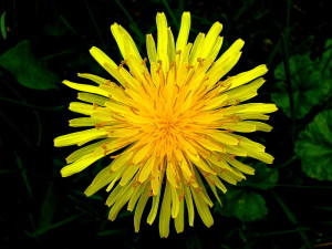 dandelion 300x225 Natural Treatments